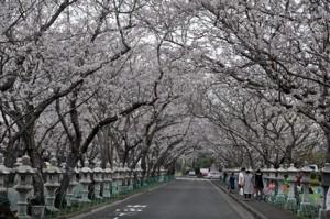 H29桜-1