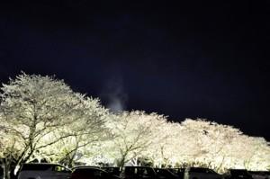H29桜-2