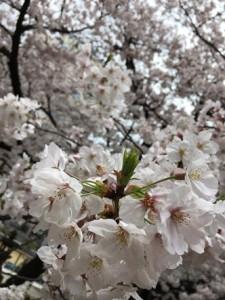 H29桜-3